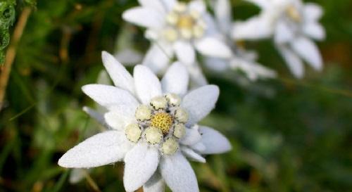 Gambar bunga edelweis eropa