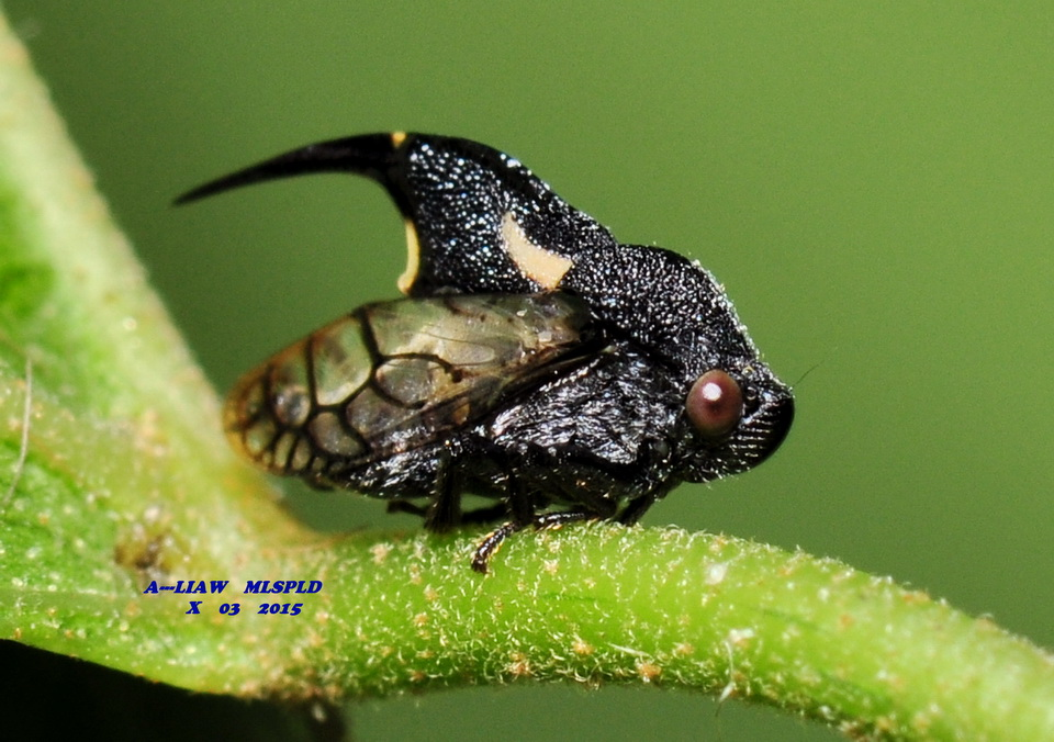 A---LIAW的自然生態記事簿: 刺沫蟬 Machaerotidae sp