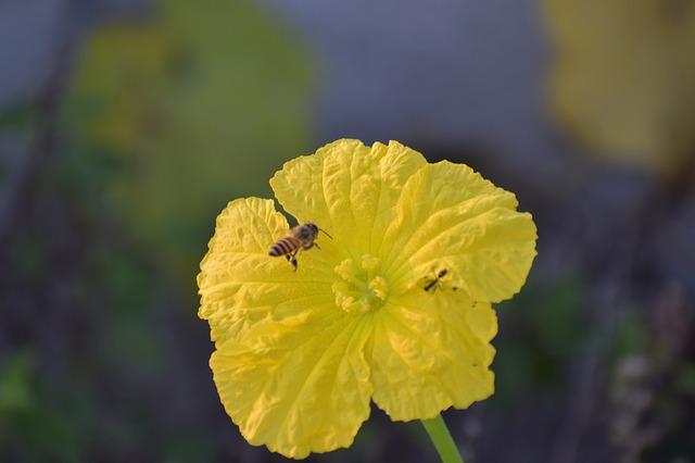 ridge gourd flower