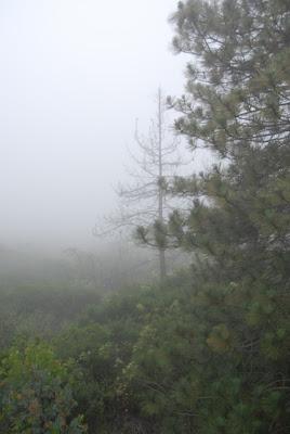 Fog on pine tree