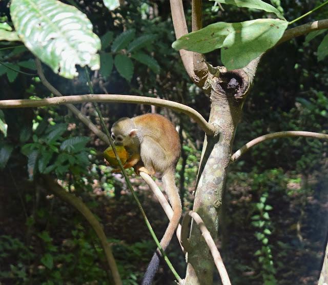 macaco amarelo comendo manga no meio da selva