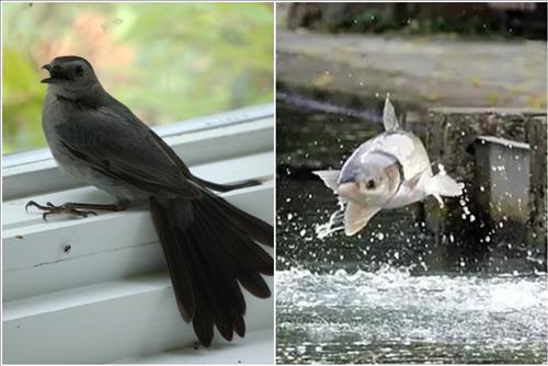Chim sa cá nhảy là điềm báo gì? Liệu có đáng sợ như lời đồn?