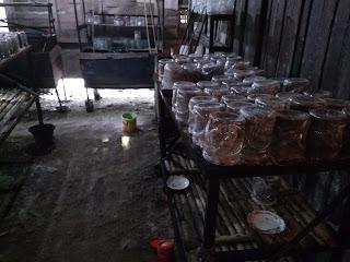 Kondisi tempat dan kandang yang sesuai untuk ternak kroto atau budidaya kroto