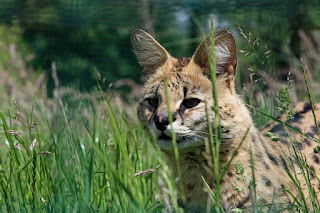 African Serval Cat Diet, Training, and Care
