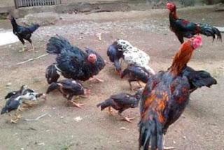 Ayam Bangkok Jenis Ayam Birma Harga Jutaan AYAMBANGKOKVIP AYAM