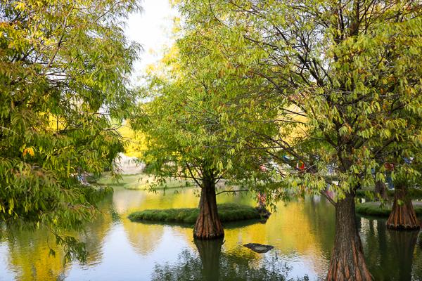 雲林虎尾青埔落羽松秘境,落羽松森林環繞著水池還有愛心平台造景