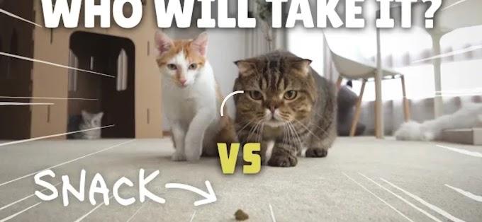 Coco dan Lulu: Kucing yang Mempunyai  2,67jt Penggemar di Youtube