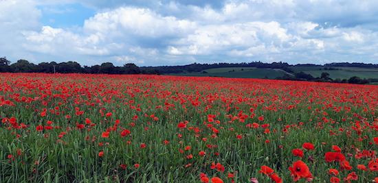 Poppies between points 9 & 10 Photograph courtesy of Deborah Rose, taken 26 June 2021