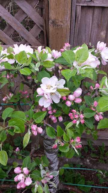Espalier apple tree blossoms / blooms.