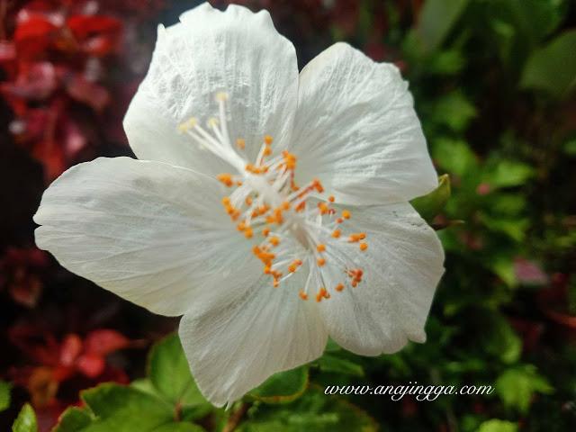 Bunga raya putih selapis