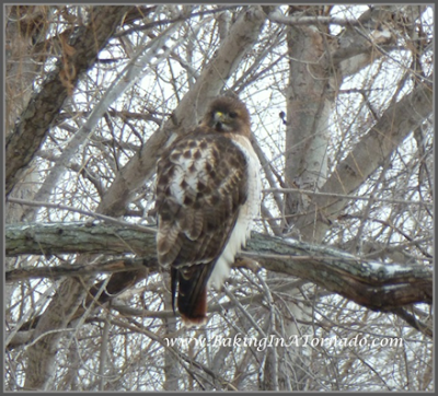Hawk in the back yard | www.BakingInATornado | #birds #nature
