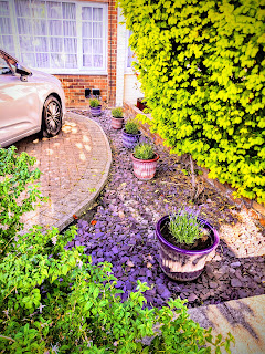 Lavender in pots along the driveway