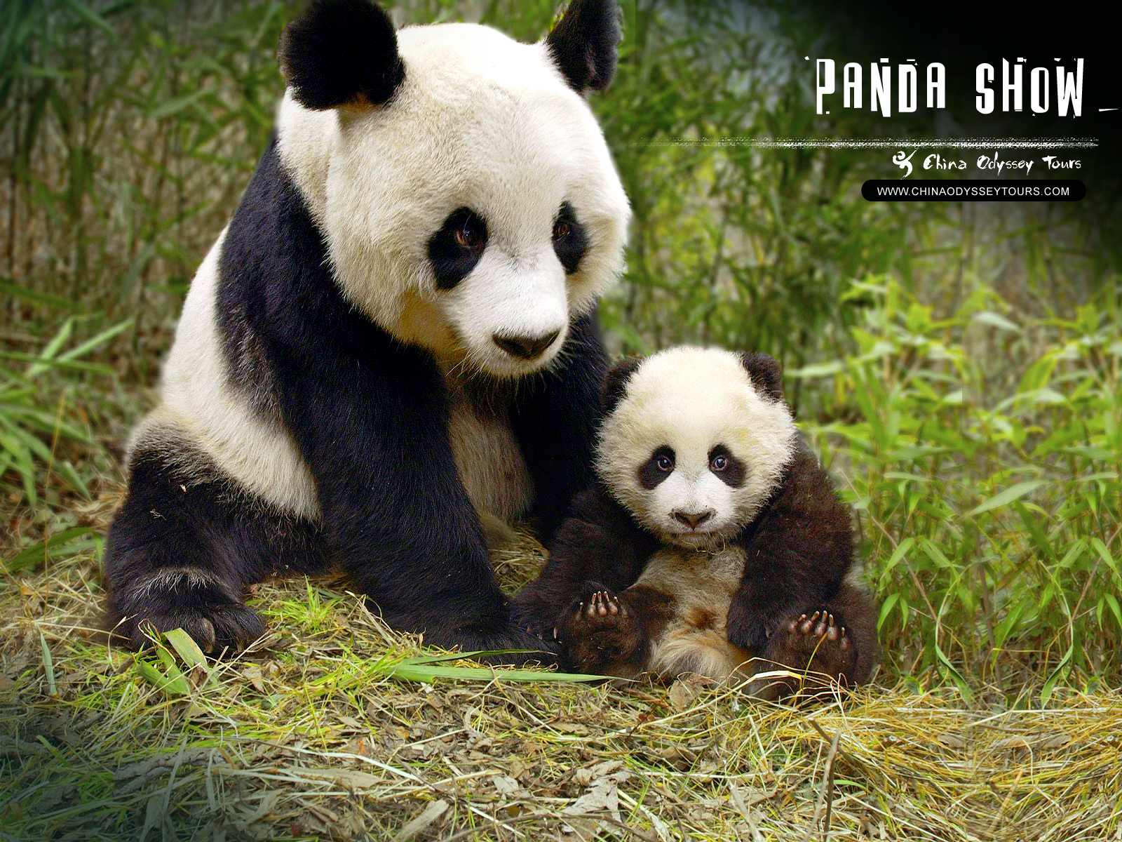 Panda Bear Diagram Plug Wiring Funny Pictures Gallery Giant Free