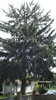 Norway spruce - Boothe Memorial Park and Museum, Stratford, CT