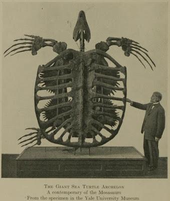 Tamaño Archelon, fotografía fósil