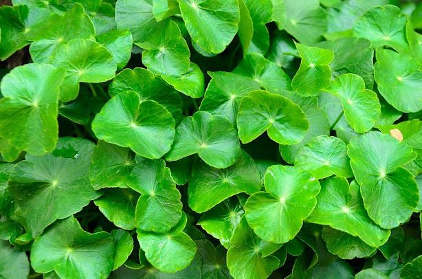 manfaat daun pegagan awet muda