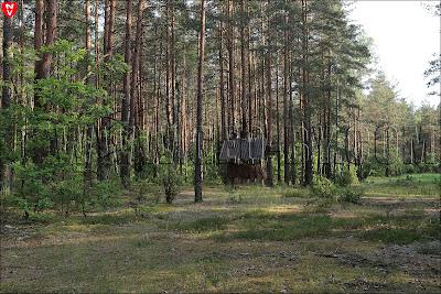 Леса в Могильно. Лосиная кормушка
