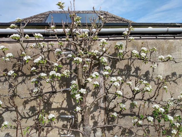 Concorde pear, espalier, blossom time, kitchen garden