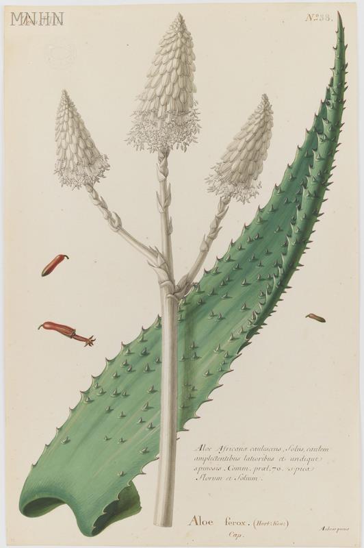 Niewiarygodnie Aloes uzbrojony - opis i uprawa - Chlorofilowy Dziennik! YW74