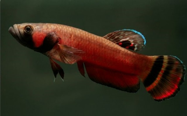 Gambar Ikan Cupang Snakehead