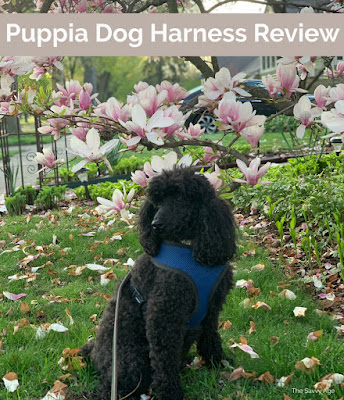 Black poodle in blue harness sitting in lawn with purple flowering tree.