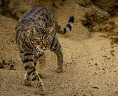 Kucing Cheetoh mirip kucing Bengal