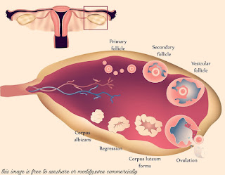 ovary-follicle