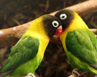 Cara Paling Jitu Memebedakan Lovebird Jantan dan Betina