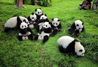 Panda raksasa dan Chengdu