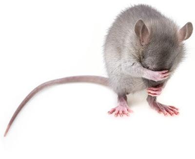 Bahan-alami-pengusir-tikus