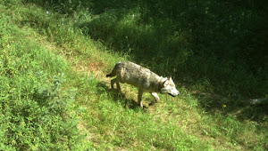 Life on the range: Wolf Reintroduction in Idaho