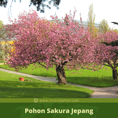 Ciri Ciri Pohon Sakura Jepang