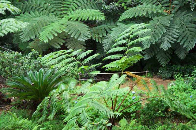 ferns, jungle,hillside, Nago, Okinawa