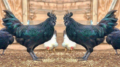 How to differentiate different chicken breeds