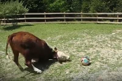 The secret story cow g - 1 4