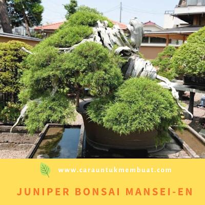 Juniper Bonsai Mansei-en