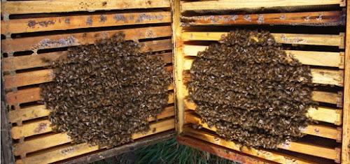 Ο ρόλος της θερμοκρασίας στην ζωή των μελισσών!
