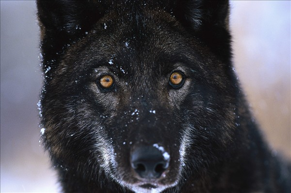 The rarest animals on the planet - the Black Wolf