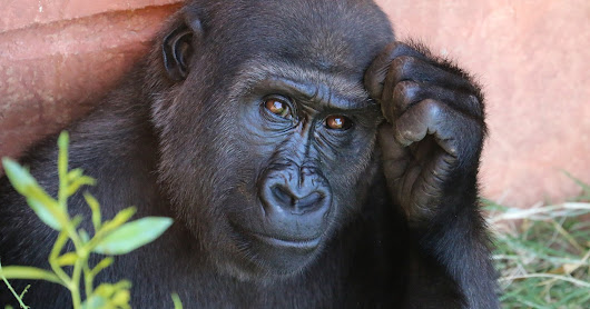 Gorillas May Soon be an Animal of the Past!