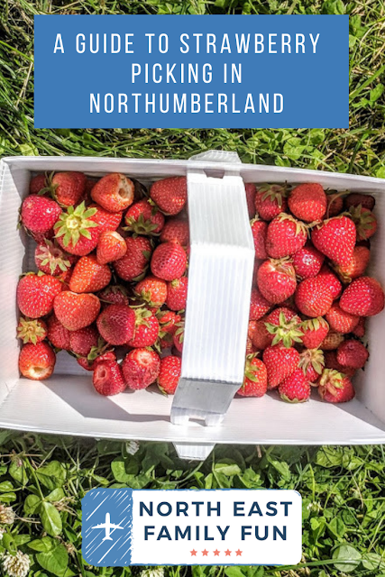 A Guide to Strawberry Picking at Brocksbushes in Northumberland