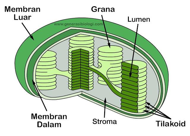 Struktur kloroplast pada daun