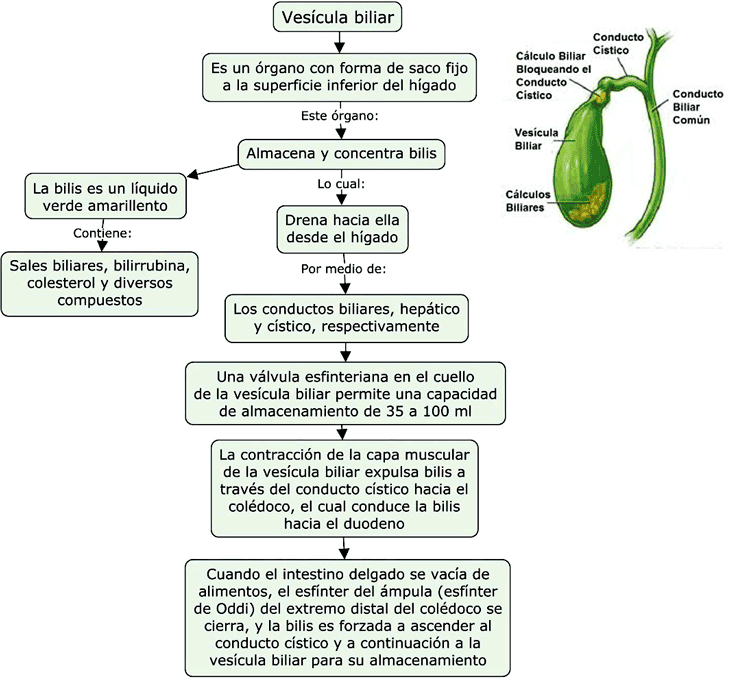 Mapa conceptual de la vesícula biliar