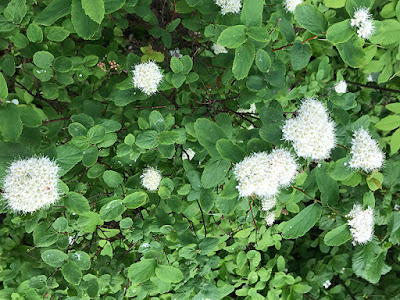 These Pretty White Spiraea Plants Are Hardy, Deciduous-Leaved Shrubs