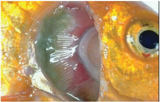 Penyakit Bakterial Ikan : Columnaris Disease