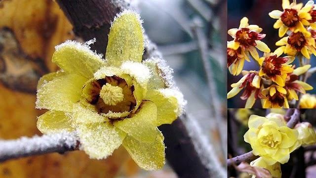 Το λουλούδι του μήνα: ΙΑΝΟΥΑΡΙΟΣ