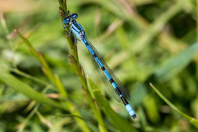 Common Blue Damselfly (male)