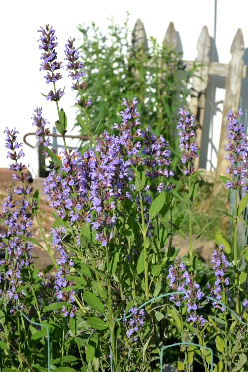 Picket fence in the garden with purple flowers