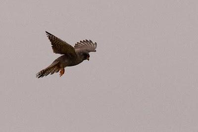 Cernícalo patirrojo (Falco vespertinus) a punto de cazar