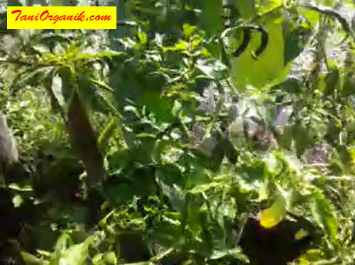 Serangan kutu bisa menyebar dengan cepat antar tanaman bila tidak segera ditangani.