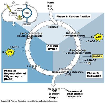 Reaksi gelap pada fotosintesis